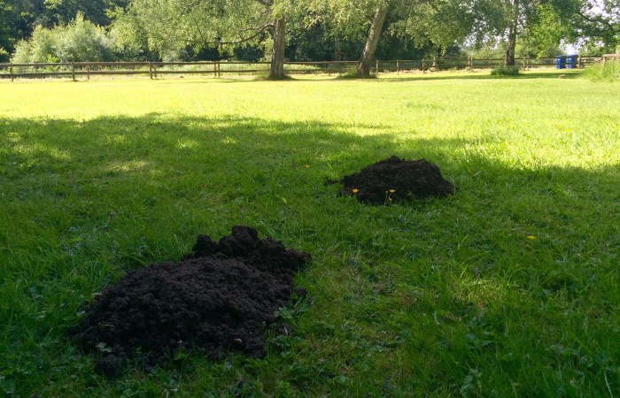 mole hills in garden - mole catching