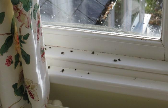 Get Rid Of Cluster Flies - Bentley Environmental