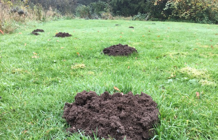 mole hills in garden area