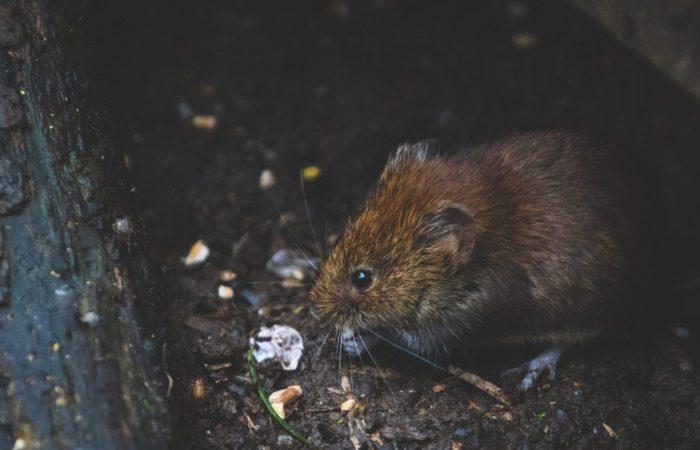 Rat & Mice Pest Control