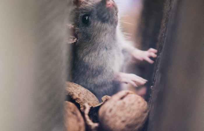 rat in wall cavity - Pest Control