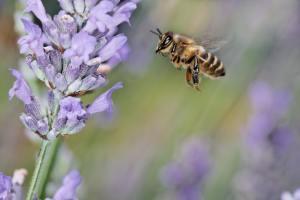 Honeybee, Bentley Environmental Pest Control