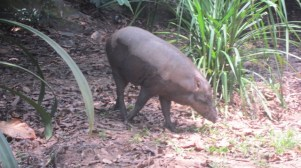 boar on Ubin Island Singapore