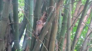 monkey Ubin Island