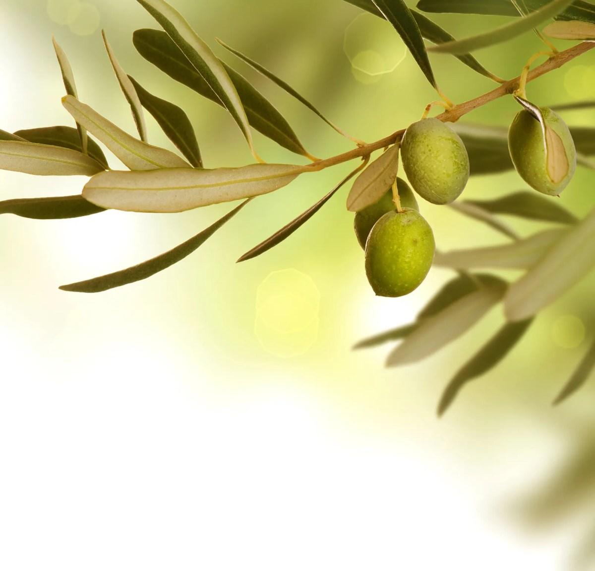 Olivenblade - E - Coli og Salmonella - Nej Tak!
