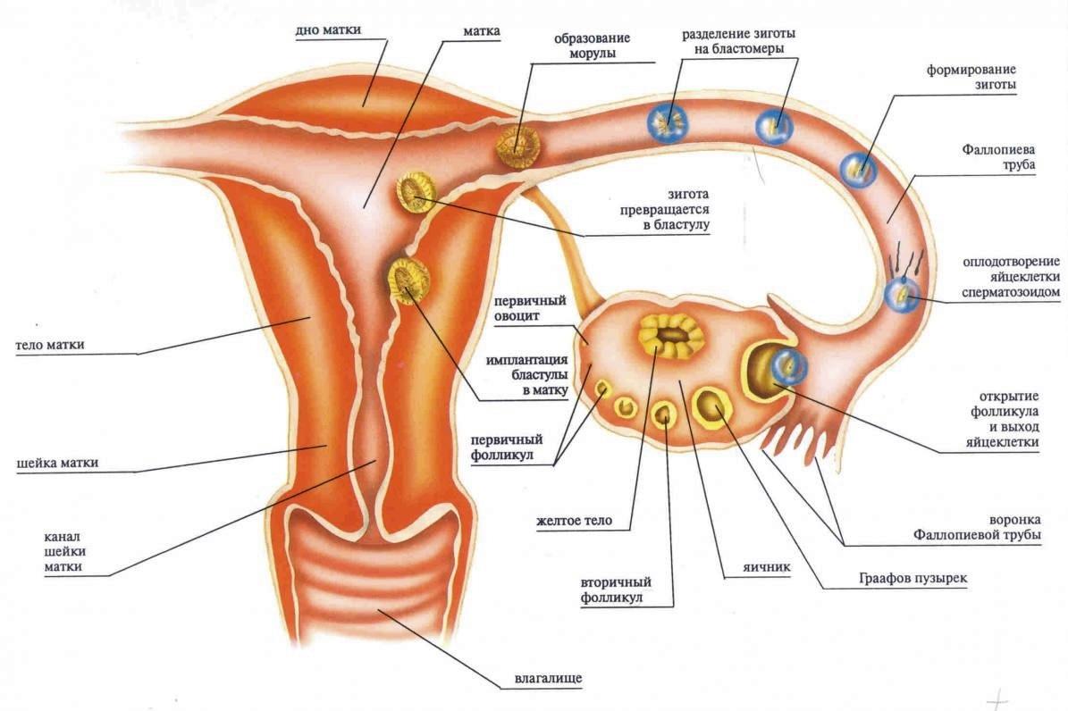 A 3. terhességi hét