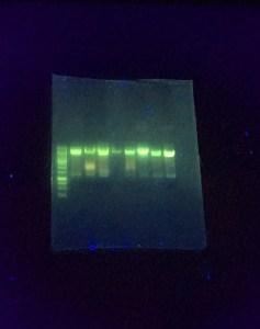 """Görselde lacivert bir yüzeyde bir sürü yeşil parlak çizgiler var. Bu teknik genetikte """"jel elektroforezis"""" diye adlandırılıyor. Genetik materyali sıvı halde saydam bir jele batırıp doluruyoruz az az, sonra jele elektriik yükü veriyoruz ve sıvıdaki materyal elektrik yüküne göre hareket ediyor. Bu şekilde de konumlarını ve boyutlarını tespit ediyoruz."""