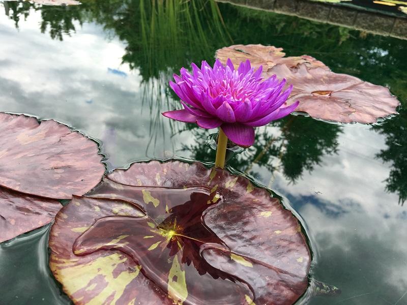 Marginal Plants Pond Sale
