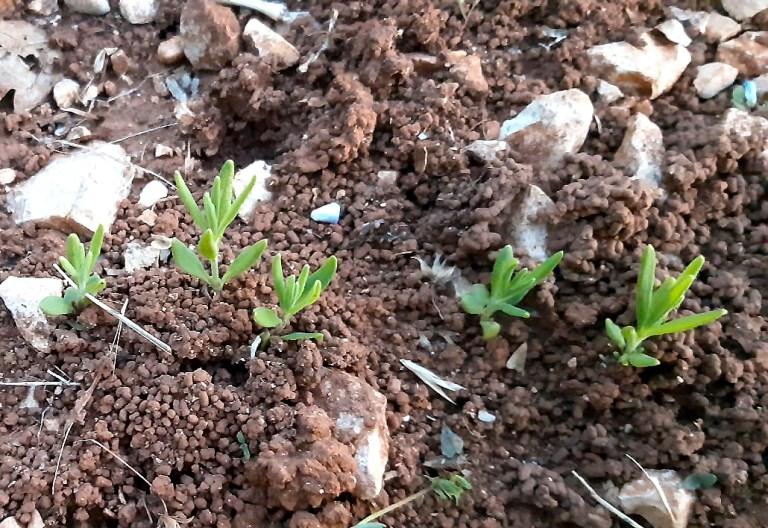 plantules lavande