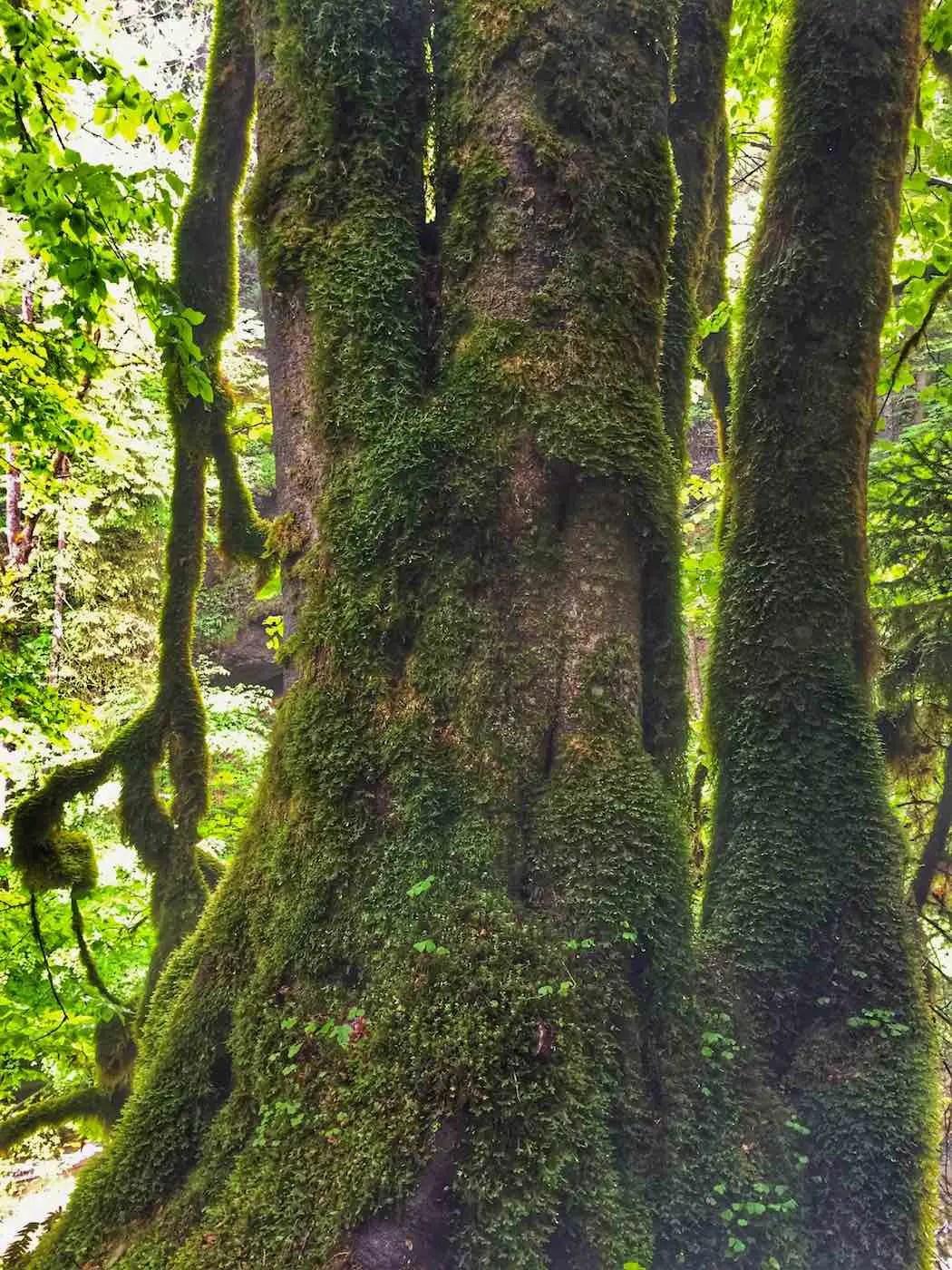 Bemooster Baum im Eistobel