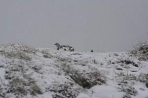 Schneehuhn an der Scharte unterhalb des Geißhorns