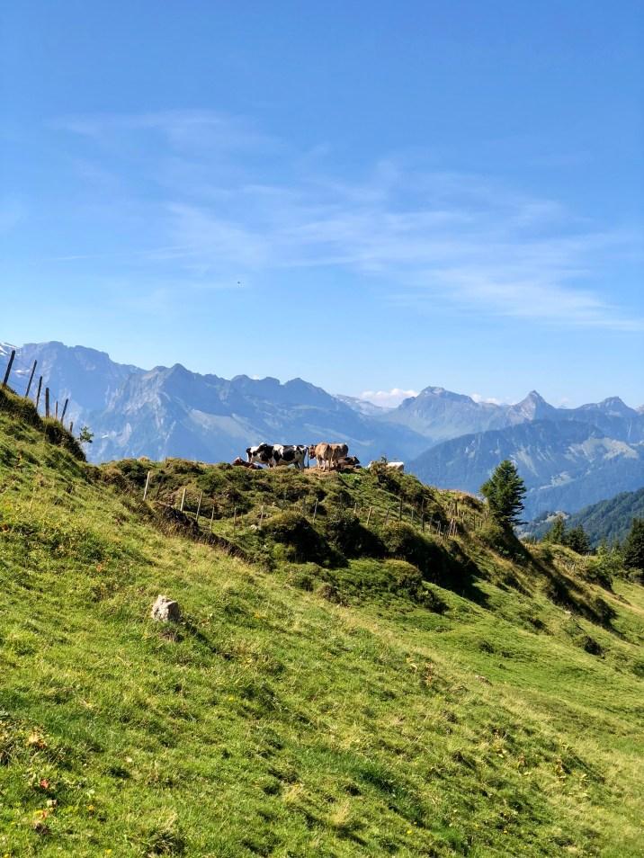 Kühe auf der Alp Öberchäseren.