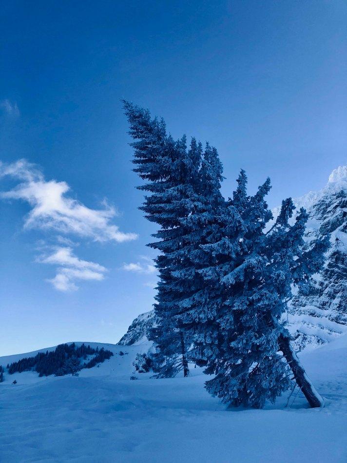 Alte Tanne im Schnee auf der Schwägalp im Alpstein
