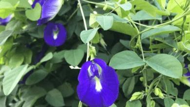 Photo of 5 Manfaat Bunga Telang sebagai Obat Herbal Alami