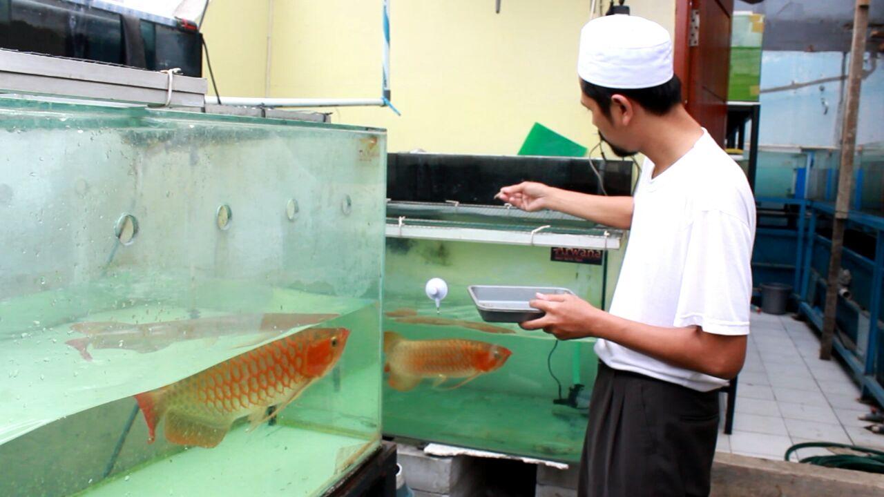 Pakjing Dari Hobi Hingga Menjadi Pusat Penjualan Ikan Arwana