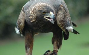 A golden eagle, four times the size of the island fox.  Wikimedia Commons (J. Glover).