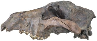 A well-preserved dire wolf skull. Credit: Dave Strauss