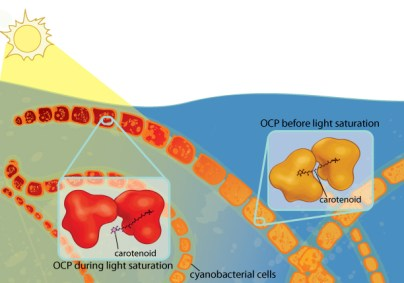 Cyanobacteria need light for photosynthesis, but too much light can damage them. Orange carotenoid protein (OCP) protects the cyanobacteria from excess light. When OCP absorbs light, it changes conformation, causing the carotenoid (a pigment) it contains to migrate to a new location in the protein. As a result, the carotenoid changes from orange to red, a phenomenon that can be seen with the naked eye. Illustration: Ashley Truxal.
