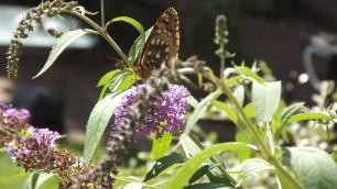 """Butterfly bush: Buddleia - davidii """"Dubonnet"""""""