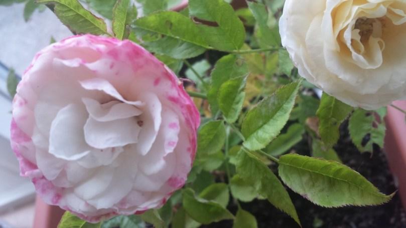 Også på min altan blomstrer roserne...