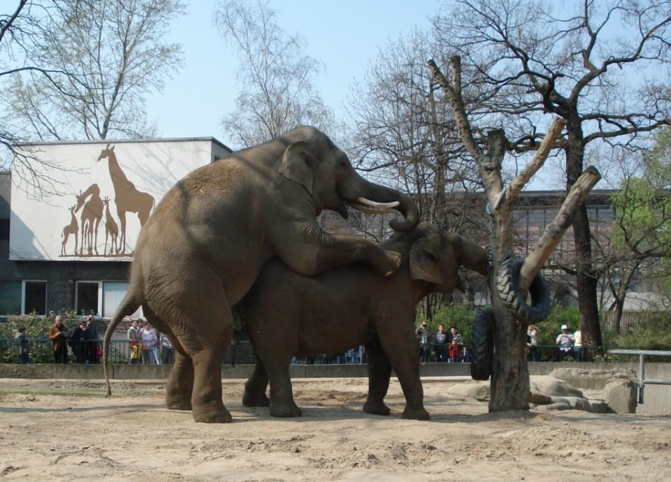 Elefanter i forårshumør. Zoologischer Garten, marts 2007. Foto: Kirsten Andersen