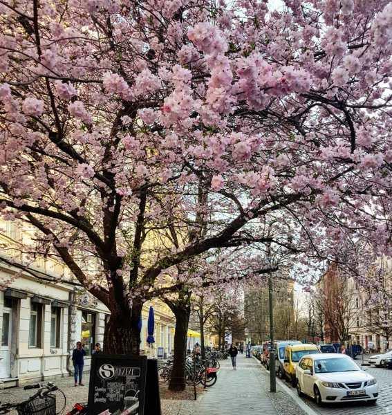 cherry blossoms berlin