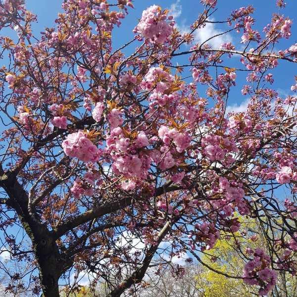 cherry blossoms potsdam