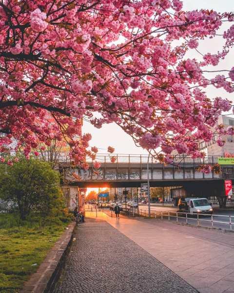 Cherry blossoms in Berlin Friedrichshain