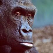 gorilla https://pixabay.com/it/gorilla-scimmia-animale-peloso-2876059/ © Alexas_Fotos CCO