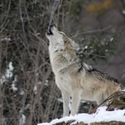 Lupo, colfelly, https://pixabay.com/it/photos/wolf-ululante-animale-selvatici-1992716/ CC0