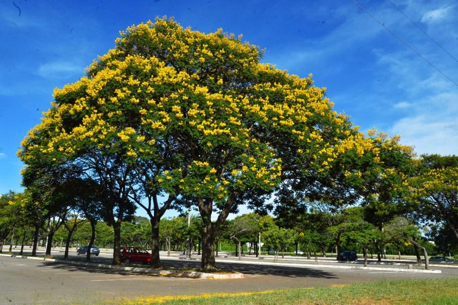 Arvores-de-Sibipiruna-enfeitam-a-cidade-de-Brasilia-com-suas-cores-foto-Marcelo-Camargo-Agencia-Brasil_201501090002