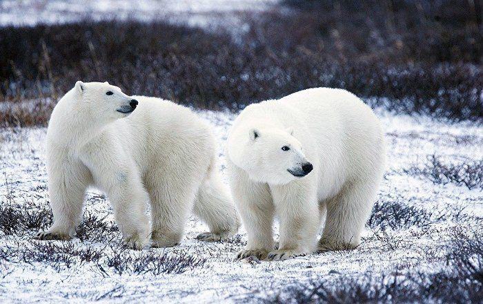 Ursos invadem área habitada arquipélago russo - bernadetealves.com