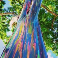 Eucalyptus deglupta: a obra de arte da natureza