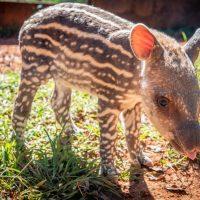 Bebê anta nascido no Zoo de Brasília será batizado de Pepino