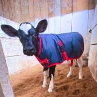 Fazenda Zuniga protege bezerros do frio