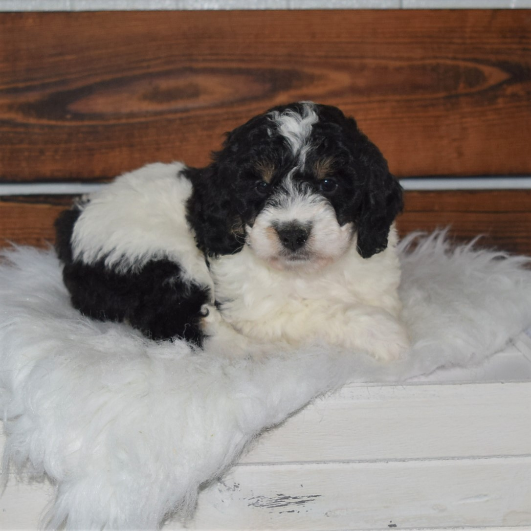 Tiny Bernedoodle Puppies Archives Bernedoodles Bernese