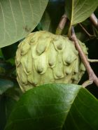 Custard apples... hopefully this one will be ready to eat soon