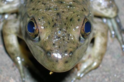 Frog_parietal_eye