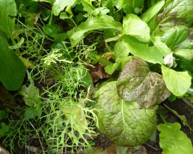 Mixed leaves: mizuna, giant mustard, rocket, bok choi and weeds
