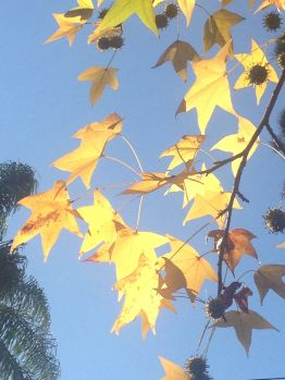 The liquidambar feast