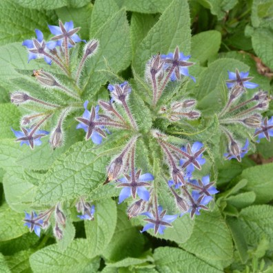 Borage from above crop