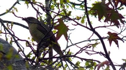 Bowerbird female in liquidambar 1 crop