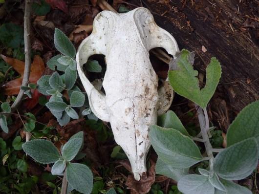 Plecanthus argentatus alongside a kangaroo skull from Kangaroo Island