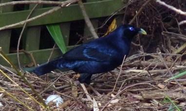 Male bowerbird crop 2