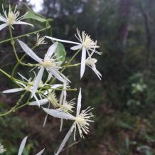 Clematis aristata (I think!). Or is it clematis glycinoides?