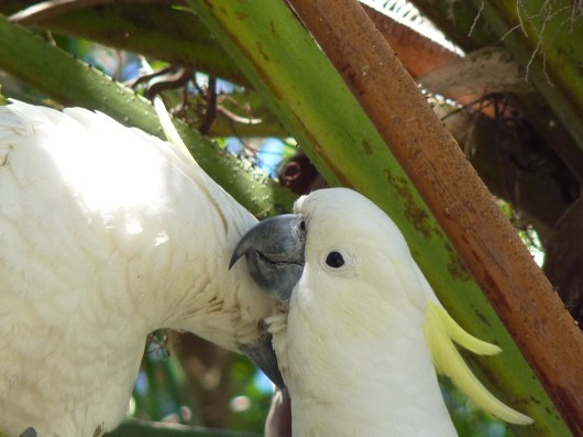 Nuzzling sulphur crested cockatoo