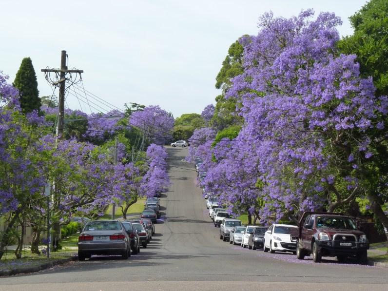 Gorgeous street trees on my way to work