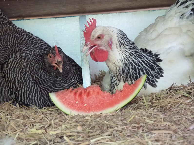 Luna and Treasure eating watermelon