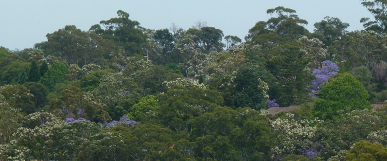 Jacaranda and Sydney red gum dot-to-dot