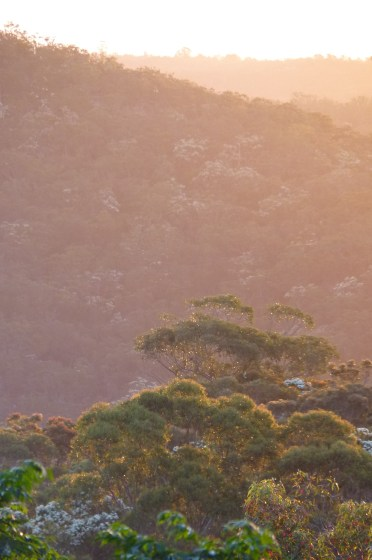 Angophora costata at sunset in Berowra Valley National Park